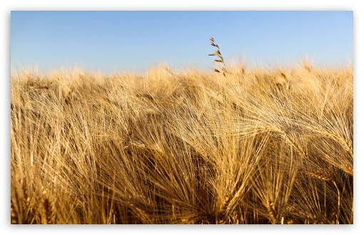 Wallpaper Field 4k Hd Wallpaper Wheat Spikes Sky: Wheat Field Ready For Harvesting Under Blue Sky 4K HD