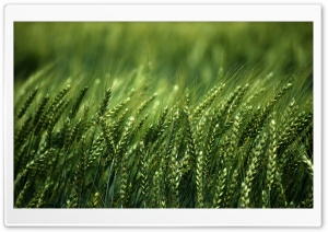 Wheat Field, Summer HD Wide Wallpaper for Widescreen
