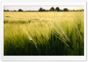 Wheat, Germany HD Wide Wallpaper for Widescreen