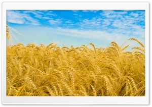Wheat Harvest HD Wide Wallpaper for Widescreen