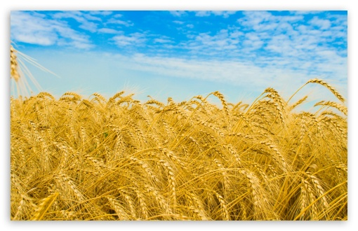 Wheat Harvest ❤ 4K UHD Wallpaper for Wide 16:10 5:3 Widescreen WHXGA WQXGA WUXGA WXGA WGA ; 4K UHD 16:9 Ultra High Definition 2160p 1440p 1080p 900p 720p ; Standard 4:3 5:4 3:2 Fullscreen UXGA XGA SVGA QSXGA SXGA DVGA HVGA HQVGA ( Apple PowerBook G4 iPhone 4 3G 3GS iPod Touch ) ; Tablet 1:1 ; iPad 1/2/Mini ; Mobile 4:3 5:3 3:2 16:9 5:4 - UXGA XGA SVGA WGA DVGA HVGA HQVGA ( Apple PowerBook G4 iPhone 4 3G 3GS iPod Touch ) 2160p 1440p 1080p 900p 720p QSXGA SXGA ; Dual 16:10 5:3 16:9 WHXGA WQXGA WUXGA WXGA WGA 2160p 1440p 1080p 900p 720p ;