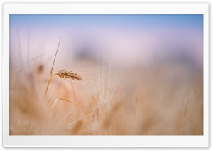 Wheat Spike, Summer HD Wide Wallpaper for Widescreen