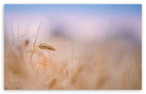 Wheat Spike, Summer HD wallpaper for Standard 4:3 5:4 Fullscreen UXGA XGA SVGA QSXGA SXGA ; Wide 16:10 5:3 Widescreen WHXGA WQXGA WUXGA WXGA WGA ; HD 16:9 High Definition WQHD QWXGA 1080p 900p 720p QHD nHD ; Other 3:2 DVGA HVGA HQVGA devices ( Apple PowerBook G4 iPhone 4 3G 3GS iPod Touch ) ; Mobile VGA WVGA iPhone iPad PSP Phone - VGA QVGA Smartphone ( PocketPC GPS iPod Zune BlackBerry HTC Samsung LG Nokia Eten Asus ) WVGA WQVGA Smartphone ( HTC Samsung Sony Ericsson LG Vertu MIO ) HVGA Smartphone ( Apple iPhone iPod BlackBerry HTC Samsung Nokia ) Sony PSP Zune HD Zen ; Tablet 2 Android 3 DVGA HVGA HQVGA devices ( Apple PowerBook G4 iPhone 4 3G 3GS iPod Touch ) ; Dual 4:3 5:4 UXGA XGA SVGA QSXGA SXGA ;