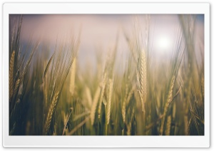 Wheat Spikelets, Close-Up HD Wide Wallpaper for Widescreen
