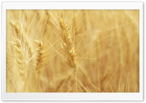 Wheat Spikes HD Wide Wallpaper for 4K UHD Widescreen desktop & smartphone
