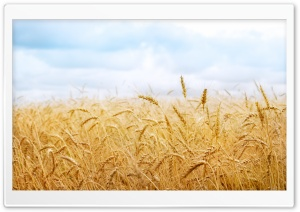 Wheat Yield HD Wide Wallpaper for Widescreen