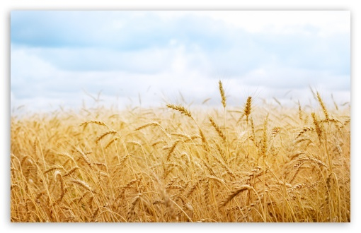 Wheat Yield HD wallpaper for Wide 16:10 5:3 Widescreen WHXGA WQXGA WUXGA WXGA WGA ; HD 16:9 High Definition WQHD QWXGA 1080p 900p 720p QHD nHD ; Standard 4:3 5:4 3:2 Fullscreen UXGA XGA SVGA QSXGA SXGA DVGA HVGA HQVGA devices ( Apple PowerBook G4 iPhone 4 3G 3GS iPod Touch ) ; Tablet 1:1 ; iPad 1/2/Mini ; Mobile 4:3 5:3 3:2 16:9 5:4 - UXGA XGA SVGA WGA DVGA HVGA HQVGA devices ( Apple PowerBook G4 iPhone 4 3G 3GS iPod Touch ) WQHD QWXGA 1080p 900p 720p QHD nHD QSXGA SXGA ; Dual 16:10 5:3 16:9 4:3 5:4 WHXGA WQXGA WUXGA WXGA WGA WQHD QWXGA 1080p 900p 720p QHD nHD UXGA XGA SVGA QSXGA SXGA ;