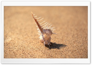 Whelk Shell HD Wide Wallpaper for Widescreen