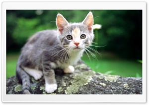 White And Gray Kitten HD Wide Wallpaper for Widescreen