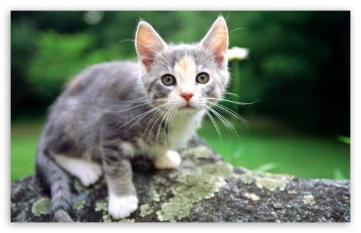 White And Gray Kitten HD wallpaper for Wide 16:10 5:3 Widescreen WHXGA WQXGA WUXGA WXGA WGA ; HD 16:9 High Definition WQHD QWXGA 1080p 900p 720p QHD nHD ; Standard 4:3 5:4 3:2 Fullscreen UXGA XGA SVGA QSXGA SXGA DVGA HVGA HQVGA devices ( Apple PowerBook G4 iPhone 4 3G 3GS iPod Touch ) ; Tablet 1:1 ; iPad 1/2/Mini ; Mobile 4:3 5:3 3:2 16:9 5:4 - UXGA XGA SVGA WGA DVGA HVGA HQVGA devices ( Apple PowerBook G4 iPhone 4 3G 3GS iPod Touch ) WQHD QWXGA 1080p 900p 720p QHD nHD QSXGA SXGA ;