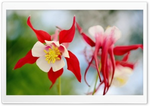 White and Red Flower HD Wide Wallpaper for Widescreen