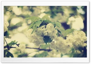White Apple Flowers HD Wide Wallpaper for Widescreen