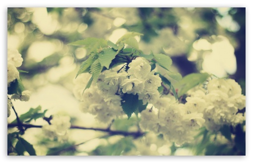 White Apple Flowers ❤ 4K UHD Wallpaper for Wide 16:10 5:3 Widescreen WHXGA WQXGA WUXGA WXGA WGA ; 4K UHD 16:9 Ultra High Definition 2160p 1440p 1080p 900p 720p ; UHD 16:9 2160p 1440p 1080p 900p 720p ; Standard 4:3 5:4 3:2 Fullscreen UXGA XGA SVGA QSXGA SXGA DVGA HVGA HQVGA ( Apple PowerBook G4 iPhone 4 3G 3GS iPod Touch ) ; Tablet 1:1 ; iPad 1/2/Mini ; Mobile 4:3 5:3 3:2 16:9 5:4 - UXGA XGA SVGA WGA DVGA HVGA HQVGA ( Apple PowerBook G4 iPhone 4 3G 3GS iPod Touch ) 2160p 1440p 1080p 900p 720p QSXGA SXGA ; Dual 16:10 5:3 16:9 4:3 5:4 WHXGA WQXGA WUXGA WXGA WGA 2160p 1440p 1080p 900p 720p UXGA XGA SVGA QSXGA SXGA ;