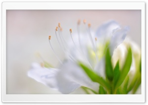White Azalea Flower HD Wide Wallpaper for Widescreen