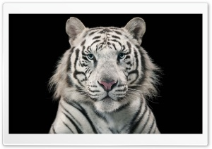 White Bengal Tiger HD Wide Wallpaper for 4K UHD Widescreen desktop & smartphone