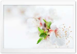 White Blossom Tree Flowers HD Wide Wallpaper for 4K UHD Widescreen desktop & smartphone