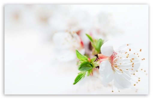 White Blossom Tree Flowers HD wallpaper for Standard 4:3 5:4 Fullscreen UXGA XGA SVGA QSXGA SXGA ; Wide 16:10 5:3 Widescreen WHXGA WQXGA WUXGA WXGA WGA ; HD 16:9 High Definition WQHD QWXGA 1080p 900p 720p QHD nHD ; Other 3:2 DVGA HVGA HQVGA devices ( Apple PowerBook G4 iPhone 4 3G 3GS iPod Touch ) ; Mobile VGA WVGA iPhone iPad PSP Phone - VGA QVGA Smartphone ( PocketPC GPS iPod Zune BlackBerry HTC Samsung LG Nokia Eten Asus ) WVGA WQVGA Smartphone ( HTC Samsung Sony Ericsson LG Vertu MIO ) HVGA Smartphone ( Apple iPhone iPod BlackBerry HTC Samsung Nokia ) Sony PSP Zune HD Zen ; Tablet 2 Android 3 DVGA HVGA HQVGA devices ( Apple PowerBook G4 iPhone 4 3G 3GS iPod Touch ) ; Dual 4:3 5:4 16:10 5:3 UXGA XGA SVGA QSXGA SXGA WHXGA WQXGA WUXGA WXGA WGA ;