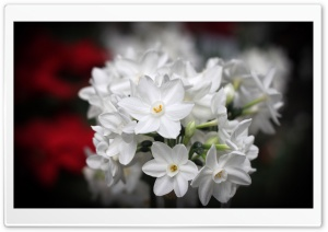 White Blossoms HD Wide Wallpaper for Widescreen