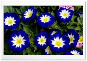 White Blue Flowers HD Wide Wallpaper for Widescreen