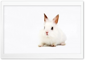 White Bunny HD Wide Wallpaper for Widescreen