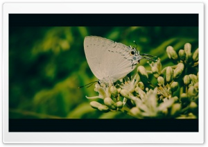 White Butterfly HD Wide Wallpaper for 4K UHD Widescreen desktop & smartphone