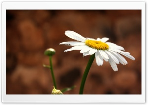 White Camomile HD Wide Wallpaper for Widescreen