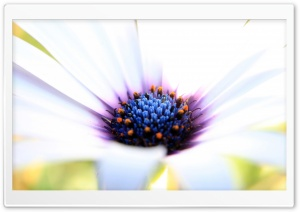 White Cape Daisy HD Wide Wallpaper for Widescreen