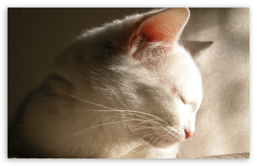 White Cat Sleeping HD wallpaper for Wide 16:10 5:3 Widescreen WHXGA WQXGA WUXGA WXGA WGA ; HD 16:9 High Definition WQHD QWXGA 1080p 900p 720p QHD nHD ; Standard 4:3 5:4 3:2 Fullscreen UXGA XGA SVGA QSXGA SXGA DVGA HVGA HQVGA devices ( Apple PowerBook G4 iPhone 4 3G 3GS iPod Touch ) ; Tablet 1:1 ; iPad 1/2/Mini ; Mobile 4:3 5:3 3:2 16:9 5:4 - UXGA XGA SVGA WGA DVGA HVGA HQVGA devices ( Apple PowerBook G4 iPhone 4 3G 3GS iPod Touch ) WQHD QWXGA 1080p 900p 720p QHD nHD QSXGA SXGA ;