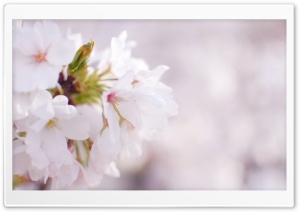 White Cherry Blossom HD Wide Wallpaper for Widescreen