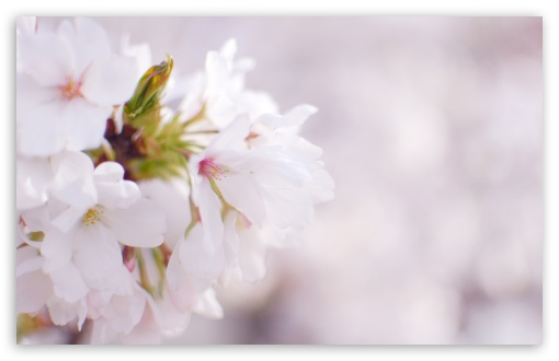 White Cherry Blossom HD wallpaper for Wide 16:10 5:3 Widescreen WHXGA WQXGA WUXGA WXGA WGA ; HD 16:9 High Definition WQHD QWXGA 1080p 900p 720p QHD nHD ; UHD 16:9 WQHD QWXGA 1080p 900p 720p QHD nHD ; Standard 4:3 5:4 3:2 Fullscreen UXGA XGA SVGA QSXGA SXGA DVGA HVGA HQVGA devices ( Apple PowerBook G4 iPhone 4 3G 3GS iPod Touch ) ; Tablet 1:1 ; iPad 1/2/Mini ; Mobile 4:3 5:3 3:2 16:9 5:4 - UXGA XGA SVGA WGA DVGA HVGA HQVGA devices ( Apple PowerBook G4 iPhone 4 3G 3GS iPod Touch ) WQHD QWXGA 1080p 900p 720p QHD nHD QSXGA SXGA ;
