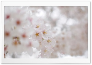 White Cherry Blossom Macro HD Wide Wallpaper for 4K UHD Widescreen desktop & smartphone
