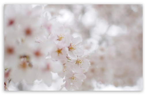 White Cherry Blossom Macro ❤ 4K UHD Wallpaper for Wide 16:10 5:3 Widescreen WHXGA WQXGA WUXGA WXGA WGA ; 4K UHD 16:9 Ultra High Definition 2160p 1440p 1080p 900p 720p ; UHD 16:9 2160p 1440p 1080p 900p 720p ; Standard 4:3 5:4 3:2 Fullscreen UXGA XGA SVGA QSXGA SXGA DVGA HVGA HQVGA ( Apple PowerBook G4 iPhone 4 3G 3GS iPod Touch ) ; Tablet 1:1 ; iPad 1/2/Mini ; Mobile 4:3 5:3 3:2 16:9 5:4 - UXGA XGA SVGA WGA DVGA HVGA HQVGA ( Apple PowerBook G4 iPhone 4 3G 3GS iPod Touch ) 2160p 1440p 1080p 900p 720p QSXGA SXGA ; Dual 16:10 5:3 16:9 4:3 5:4 WHXGA WQXGA WUXGA WXGA WGA 2160p 1440p 1080p 900p 720p UXGA XGA SVGA QSXGA SXGA ;