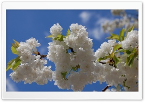 White Cherry Blossom Tree HD Wide Wallpaper for Widescreen