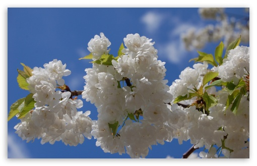 White Cherry Blossom Tree HD wallpaper for Wide 16:10 5:3 Widescreen WHXGA WQXGA WUXGA WXGA WGA ; HD 16:9 High Definition WQHD QWXGA 1080p 900p 720p QHD nHD ; Standard 4:3 5:4 Fullscreen UXGA XGA SVGA QSXGA SXGA ; MS 3:2 DVGA HVGA HQVGA devices ( Apple PowerBook G4 iPhone 4 3G 3GS iPod Touch ) ; Mobile VGA WVGA iPhone iPad PSP Phone - VGA QVGA Smartphone ( PocketPC GPS iPod Zune BlackBerry HTC Samsung LG Nokia Eten Asus ) WVGA WQVGA Smartphone ( HTC Samsung Sony Ericsson LG Vertu MIO ) HVGA Smartphone ( Apple iPhone iPod BlackBerry HTC Samsung Nokia ) Sony PSP Zune HD Zen ; Tablet 1&2 Android ;