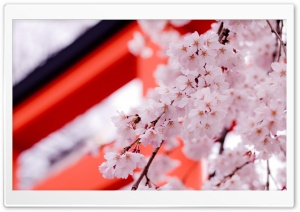 White Cherry Blossoms HD Wide Wallpaper for Widescreen