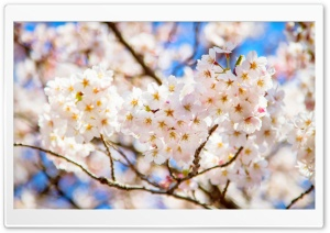 White Cherry Blossoms HD Wide Wallpaper for 4K UHD Widescreen desktop & smartphone