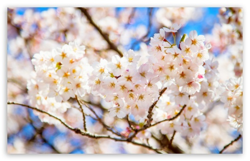 White Cherry Blossoms UltraHD Wallpaper for Wide 16:10 5:3 Widescreen WHXGA WQXGA WUXGA WXGA WGA ; 8K UHD TV 16:9 Ultra High Definition 2160p 1440p 1080p 900p 720p ; UHD 16:9 2160p 1440p 1080p 900p 720p ; Standard 4:3 5:4 3:2 Fullscreen UXGA XGA SVGA QSXGA SXGA DVGA HVGA HQVGA ( Apple PowerBook G4 iPhone 4 3G 3GS iPod Touch ) ; Smartphone 5:3 WGA ; Tablet 1:1 ; iPad 1/2/Mini ; Mobile 4:3 5:3 3:2 16:9 5:4 - UXGA XGA SVGA WGA DVGA HVGA HQVGA ( Apple PowerBook G4 iPhone 4 3G 3GS iPod Touch ) 2160p 1440p 1080p 900p 720p QSXGA SXGA ; Dual 16:10 5:3 16:9 4:3 5:4 WHXGA WQXGA WUXGA WXGA WGA 2160p 1440p 1080p 900p 720p UXGA XGA SVGA QSXGA SXGA ;