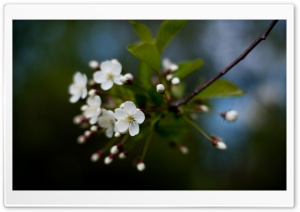 White Cherry Flowers HD Wide Wallpaper for Widescreen
