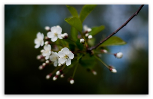 White Cherry Flowers HD wallpaper for Wide 16:10 5:3 Widescreen WHXGA WQXGA WUXGA WXGA WGA ; HD 16:9 High Definition WQHD QWXGA 1080p 900p 720p QHD nHD ; Standard 4:3 5:4 3:2 Fullscreen UXGA XGA SVGA QSXGA SXGA DVGA HVGA HQVGA devices ( Apple PowerBook G4 iPhone 4 3G 3GS iPod Touch ) ; Tablet 1:1 ; iPad 1/2/Mini ; Mobile 4:3 5:3 3:2 16:9 5:4 - UXGA XGA SVGA WGA DVGA HVGA HQVGA devices ( Apple PowerBook G4 iPhone 4 3G 3GS iPod Touch ) WQHD QWXGA 1080p 900p 720p QHD nHD QSXGA SXGA ;