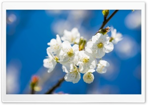 White Cherry Flowers, Macro HD Wide Wallpaper for Widescreen