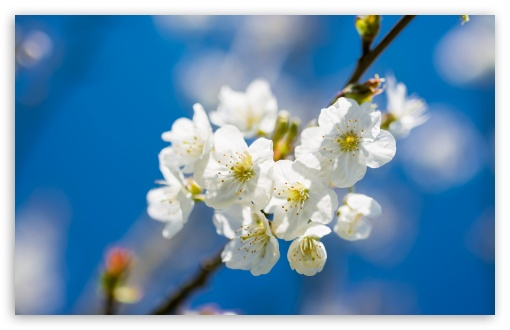 White Cherry Flowers, Macro ❤ 4K UHD Wallpaper for Wide 16:10 5:3 Widescreen WHXGA WQXGA WUXGA WXGA WGA ; 4K UHD 16:9 Ultra High Definition 2160p 1440p 1080p 900p 720p ; UHD 16:9 2160p 1440p 1080p 900p 720p ; Standard 4:3 5:4 3:2 Fullscreen UXGA XGA SVGA QSXGA SXGA DVGA HVGA HQVGA ( Apple PowerBook G4 iPhone 4 3G 3GS iPod Touch ) ; Smartphone 5:3 WGA ; Tablet 1:1 ; iPad 1/2/Mini ; Mobile 4:3 5:3 3:2 16:9 5:4 - UXGA XGA SVGA WGA DVGA HVGA HQVGA ( Apple PowerBook G4 iPhone 4 3G 3GS iPod Touch ) 2160p 1440p 1080p 900p 720p QSXGA SXGA ; Dual 16:10 5:3 16:9 4:3 5:4 WHXGA WQXGA WUXGA WXGA WGA 2160p 1440p 1080p 900p 720p UXGA XGA SVGA QSXGA SXGA ;