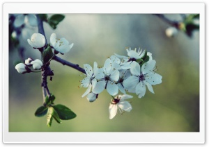 White Cherry Flowers, Spring HD Wide Wallpaper for Widescreen