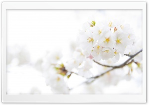 White Cherry Plum Flowers HD Wide Wallpaper for Widescreen