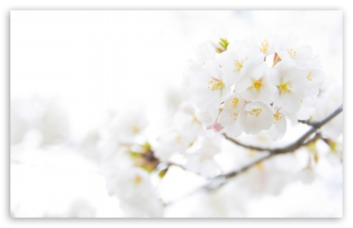 White Cherry Plum Flowers HD wallpaper for Wide 16:10 5:3 Widescreen WHXGA WQXGA WUXGA WXGA WGA ; HD 16:9 High Definition WQHD QWXGA 1080p 900p 720p QHD nHD ; Standard 4:3 5:4 3:2 Fullscreen UXGA XGA SVGA QSXGA SXGA DVGA HVGA HQVGA devices ( Apple PowerBook G4 iPhone 4 3G 3GS iPod Touch ) ; Tablet 1:1 ; iPad 1/2/Mini ; Mobile 4:3 5:3 3:2 16:9 5:4 - UXGA XGA SVGA WGA DVGA HVGA HQVGA devices ( Apple PowerBook G4 iPhone 4 3G 3GS iPod Touch ) WQHD QWXGA 1080p 900p 720p QHD nHD QSXGA SXGA ; Dual 4:3 5:4 UXGA XGA SVGA QSXGA SXGA ;