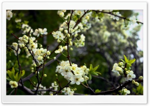 White Cherry Spring Flowers HD Wide Wallpaper for Widescreen