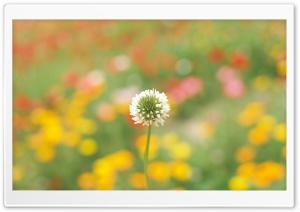 White Clover Ultra HD Wallpaper for 4K UHD Widescreen desktop, tablet & smartphone
