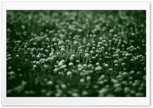 White Clover Flowers HD Wide Wallpaper for Widescreen