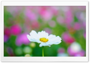 White Cosmos HD Wide Wallpaper for Widescreen