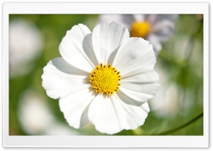 White Cosmos Flower Closeup HD Wide Wallpaper for Widescreen