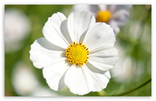White Cosmos Flower Closeup ❤ 4K UHD Wallpaper for Wide 16:10 5:3 Widescreen WHXGA WQXGA WUXGA WXGA WGA ; 4K UHD 16:9 Ultra High Definition 2160p 1440p 1080p 900p 720p ; Standard 4:3 5:4 3:2 Fullscreen UXGA XGA SVGA QSXGA SXGA DVGA HVGA HQVGA ( Apple PowerBook G4 iPhone 4 3G 3GS iPod Touch ) ; Smartphone 5:3 WGA ; Tablet 1:1 ; iPad 1/2/Mini ; Mobile 4:3 5:3 3:2 16:9 5:4 - UXGA XGA SVGA WGA DVGA HVGA HQVGA ( Apple PowerBook G4 iPhone 4 3G 3GS iPod Touch ) 2160p 1440p 1080p 900p 720p QSXGA SXGA ;